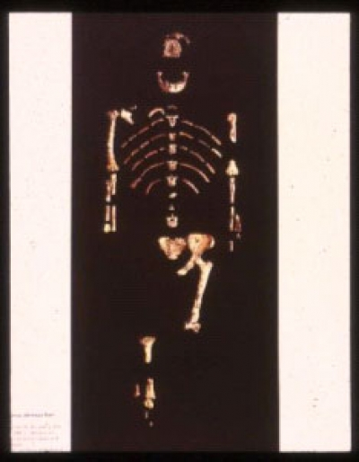 Reconstruction of Lucy's skeleton. The remains amount to approximately 40% of the skeleton.     Credits: http://www.mitchellteachers.net