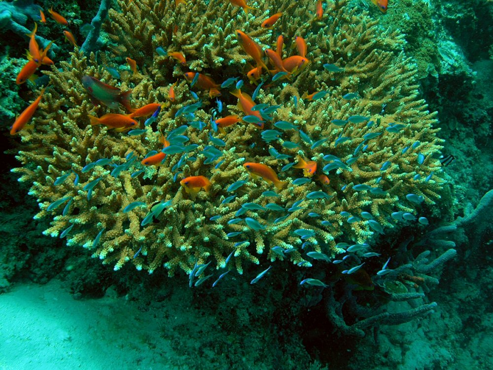 The brownish-green colouring of corals is due to the presence of zooxanthellae.