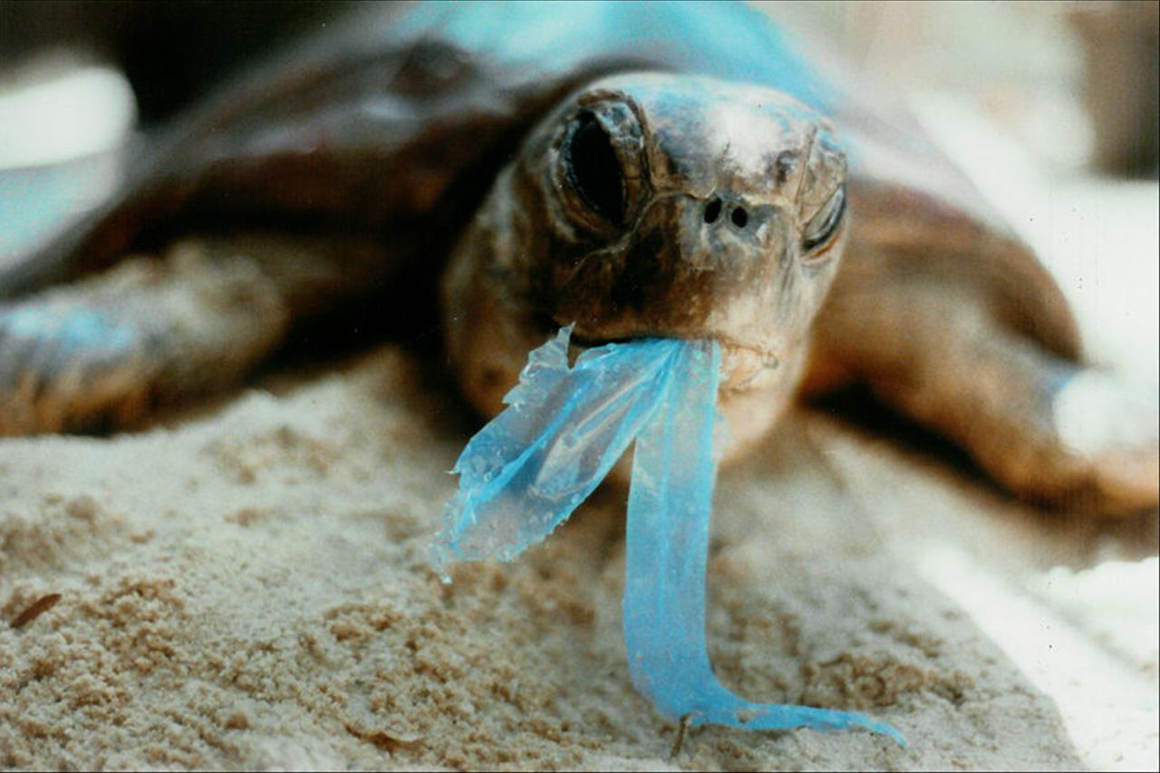 A sea turtle eating plastic (Credits: photo by unknown photographer)